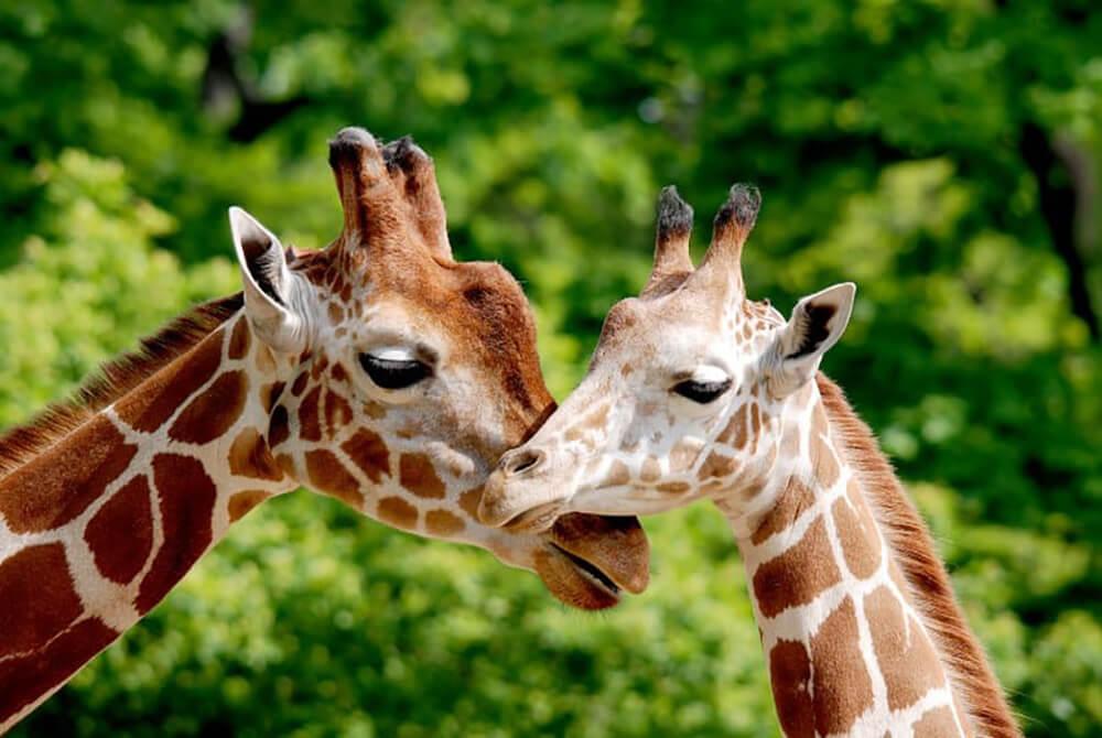 zoo dvur kralove safari zwiedzanie